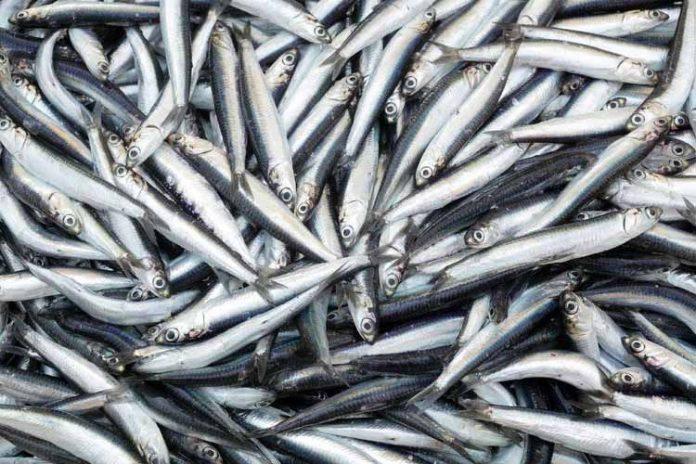 Producción de harina de pescado aumenta según informe de la IFFO