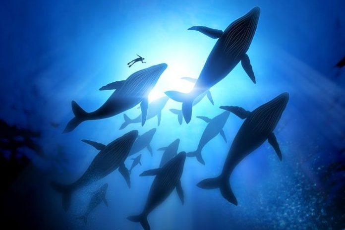 EEUU y Canadá preocupados con el cambio de patrón migratorio de ballenas