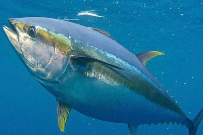 Atún aleta amarilla del Pacífico: un atún bastante sano