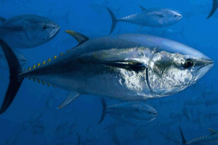 La etiqueta del atún rojo permite investigación sobre la especie