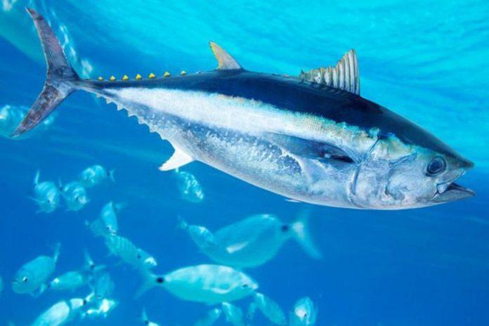 Cerrada la pesca de atún aleta amarilla para España en el índico