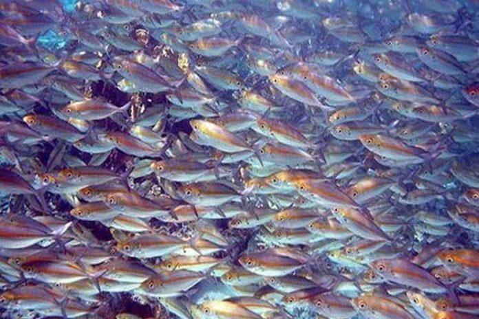Dura competencia en la búsqueda de peces en el Pacífico