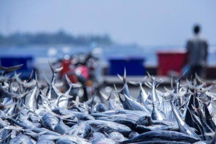 Ecuador lidera capturas de atún y aumenta volumen de exportación